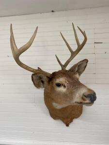 8 Point Deer Mount, Possibly 1965