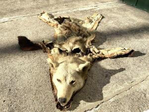 Wolf Rug, Full Head, Poor Condition